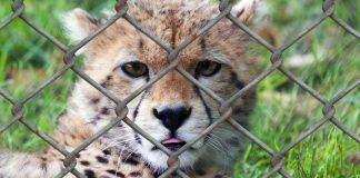 fim-da-caca-e-destruicao-do-habitat-animal-podem-evitar-pandemias