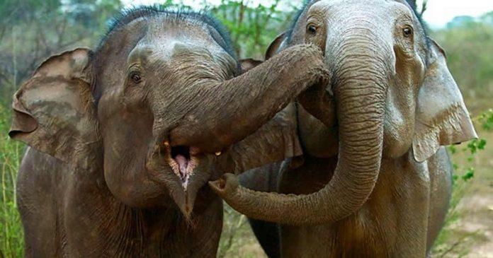elefante-se-despede-de-companheira-apos-uma-vida-juntas