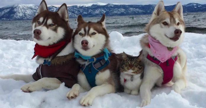 gatinha-criada-por-huskies-acredita-que-ela-e-uma-cadela