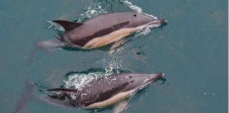 golfinhos-invadem-a-costa-de-portugal-pos-quarentena