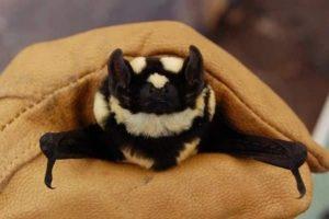 morcego-panda-sendo-segurado-com-luvas