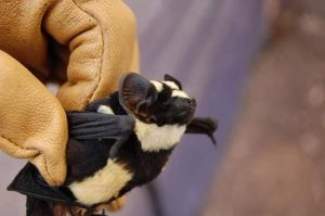 morcego-panda