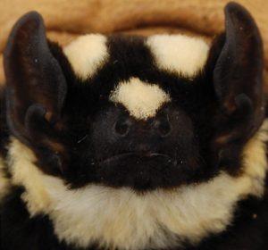 morcego-panda-rosto