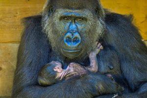 gorila-com-seu-filho