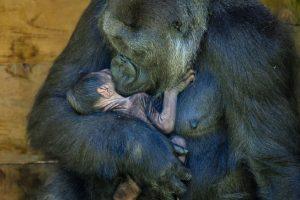 fazendo-um-cainho-no-bebe-gorila