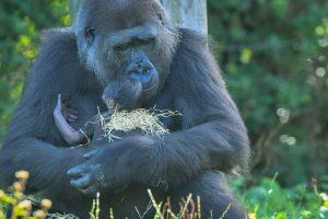 carinho-da-mamae-gorila