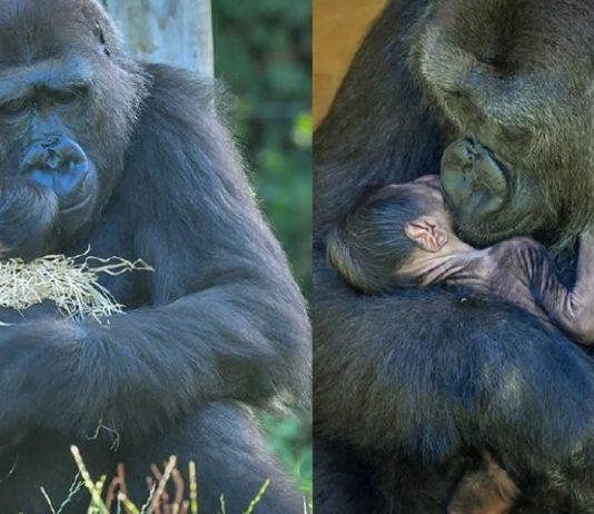 mamae-gorila-abraca-seu-bebe-com-todo-amor-e-cuidadores-comemoram