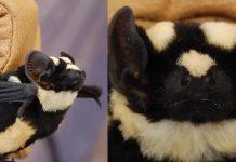 morcego-panda-um-animal-incomum-com-cores-estranhas-e-exotico
