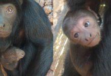 especie-de-macaco-ameacado-de-extincao-nasce-em-brasilia