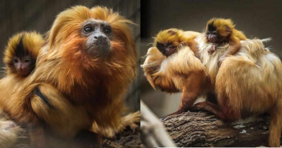 boa-noticia-nascem-filhotes-de-mico-leao-dourado-em-sp-especie-esta-em-extincao