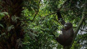 chimpanzes-serao-salvos-por-árvores
