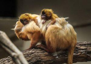 mae-com-filhotes-de-mico-leao-dourado