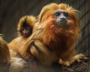mico-leao-dourado