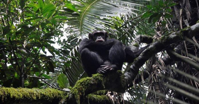 para-salvar-chimpanzes-serao-plantados-3-milhoes-de-arvores-na-africa