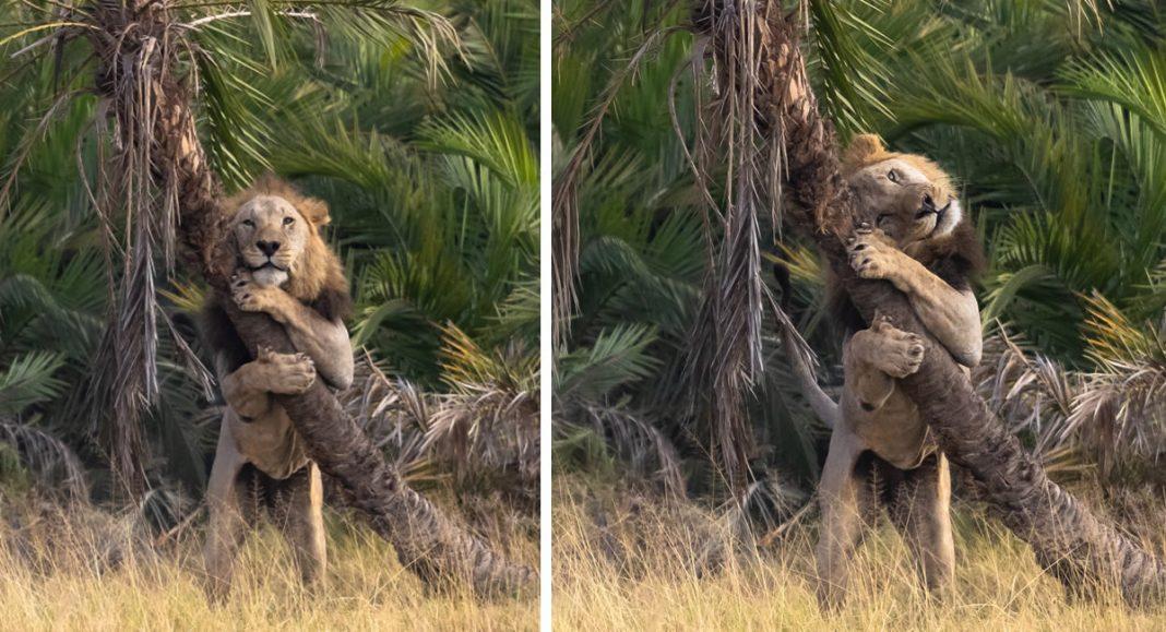 fotografo-registra-momento-fofo-em-que-leao-parece-abracar-uma-arvore-no-quenia