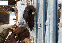 pesquisadores-treinam-vacas-para-irem-ao-banheiro-e-experimento-da-certo