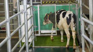vacas-indo-ao-banheiro